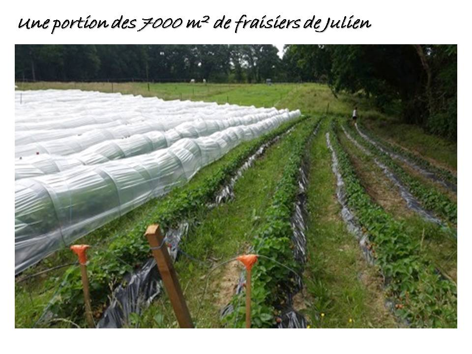 portion de champ de fraises ferme du herisson