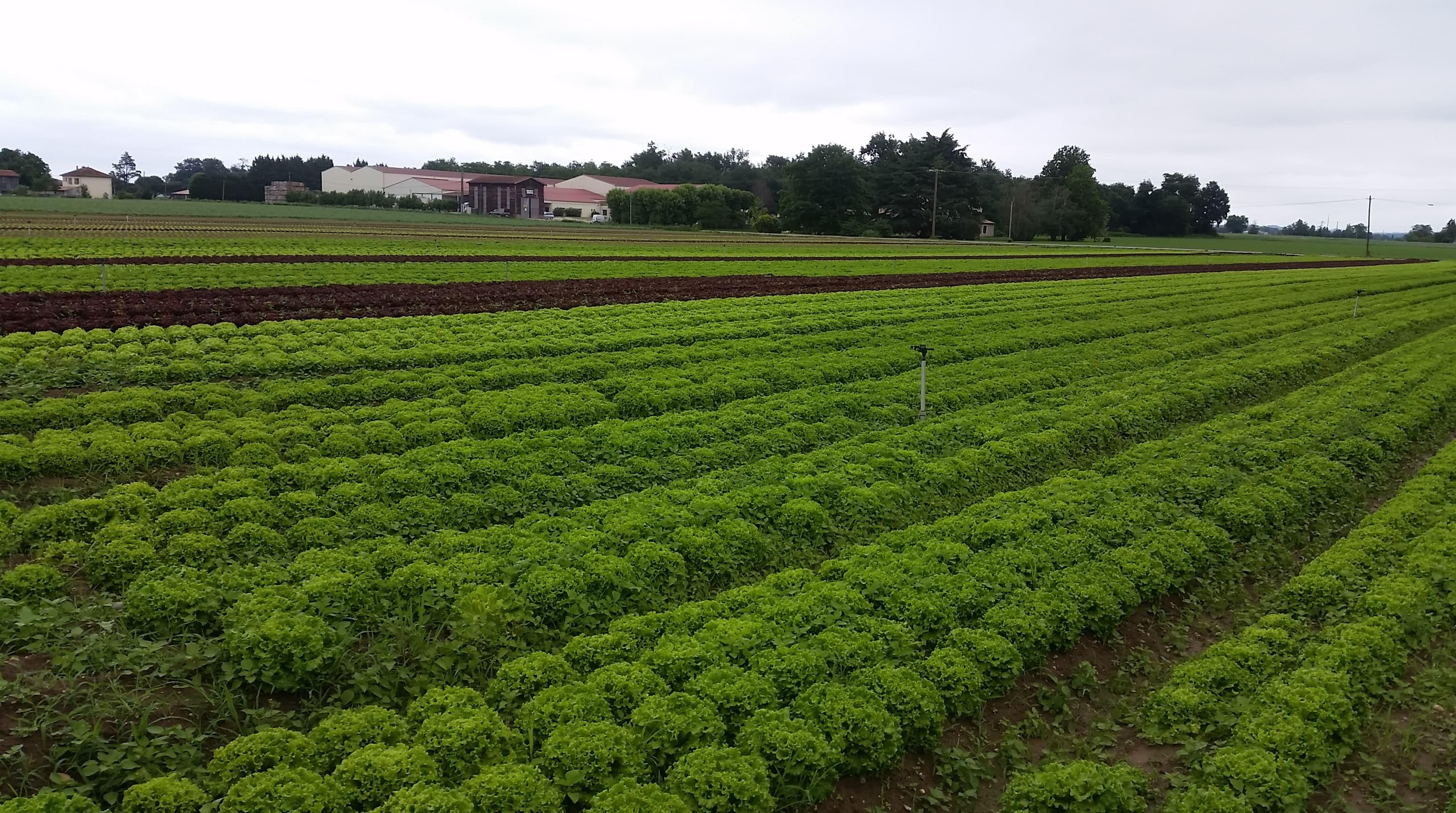 Champs de salade au bout de 45 jours après mise en terre des plants